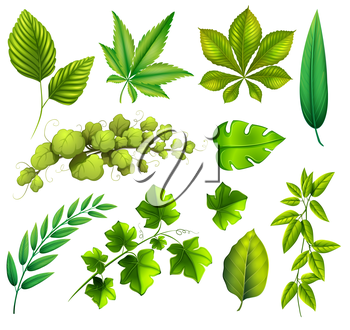 Illustration of the different leaves on a white background