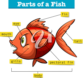 Diagram showing parts of fish illustration