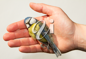 A deceased blue tit is being held in a womans hand