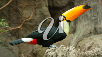 Toco Toucan is sitting on a rock