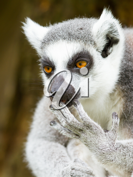 Ring-tailed lemur (Lemur catta) cleaning it's claw in a dutch zoo