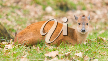 Natal red duiker (Cephalophus natalensis) in a dutch zoo