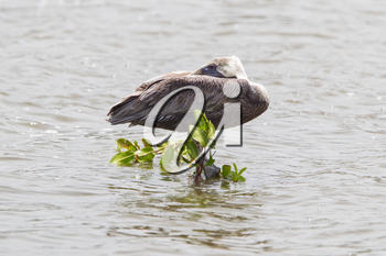 Brown pelican (Pelecanus occidentalis) on the water