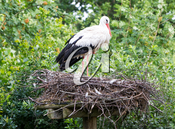 Two adult storks in a big nest