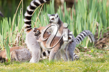 Ring-tailed lemur (Lemur catta) in a group, with young