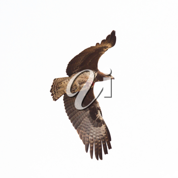 Steppe eagle flying with it's favourite meal, ground squirrel, Kalahari, Botswana
