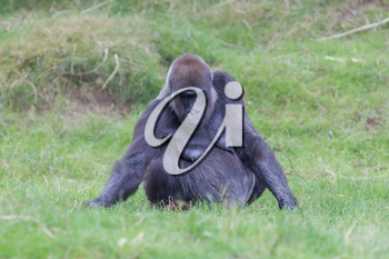 Adult gorilla resting in the green grass