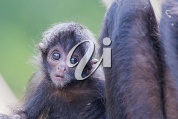 Spider monkey (Ateles fusciceps), infant and it's mother