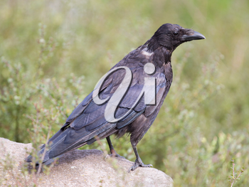 Black Crow - Zwarte Kraai - Corvus Corone - Carrion Crow