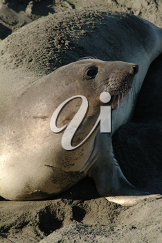 Seal Pictures, Photos, Photographs