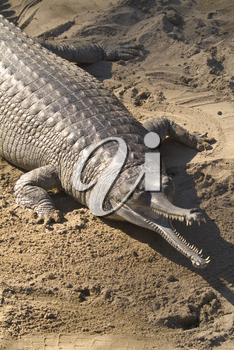 Stock Image of an Indian Gharial