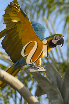 Stock Photo of a Blue and Yellow Macaw Parrot