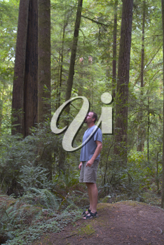 Man In the Redwood Forest Stock Photo