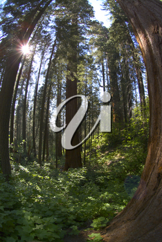 Fisheye View of Sequoia National Park Forest - Stock Photo
