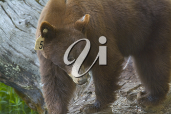 Stock Photo of a Bear In the Wild With an Ear Tag