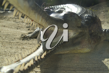 Stock Photo of Crocodile with Mouth Open