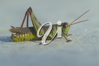 Stock Photo of a Grasshopper