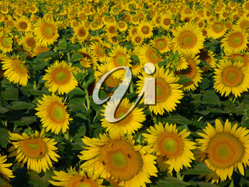 Stock Photo of a Sunflower Field with Honey Bees Pollinating