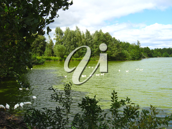 beautiful summer landscape with picturesque lake with swimming white ducks