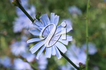 beautiful light blue flower of Cichorium in the field