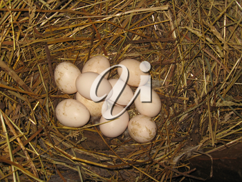 Nest of the hen with three eggs on the hay
