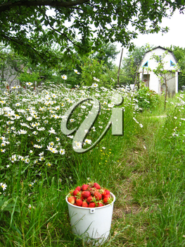 Full bucket with a strawberry on a background of a bed with camomiles