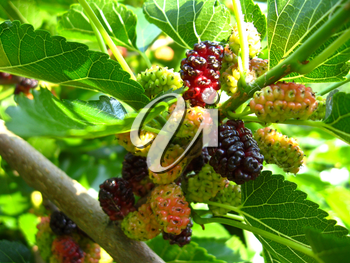 the image of branch of ripe mulberry
