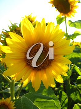 the image of beautiful yellow sunflower in the field