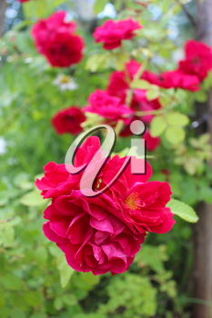 bush of the beautiful and tender red roses