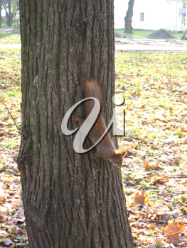 image of squirrel climbing down on the tree