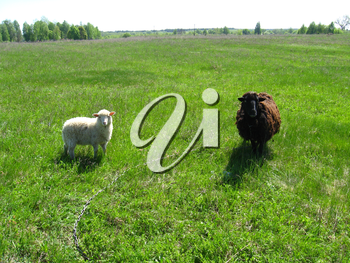 the image of sheeps grazing on a grass