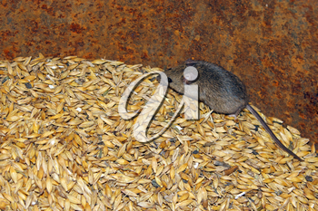 little grey mouse running on the wheat in the pantry