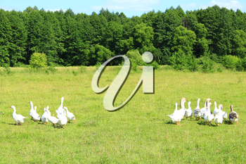 flight of white house geese on the meadow near the forest