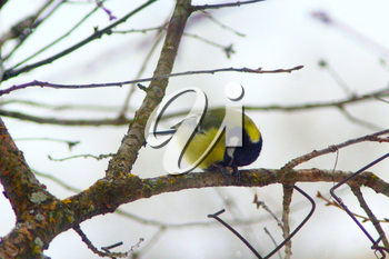 Great tit on the branch of tree in winter