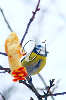 Eurasian blue tit sits on the branch near the piece of bread in cold winter