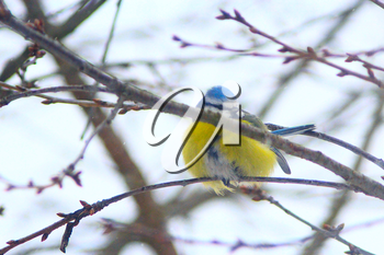 Eurasian blue tit sits on the branch in cold winter