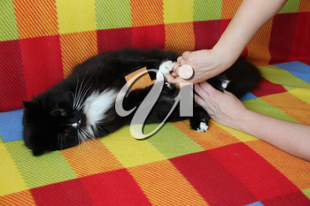 Mistress combing her cat. Caring for cat fur. Woman hand combing by comb black and white fluffy cat. Taking care of domestic pet. Enjoy and happy pet. Lazy cat