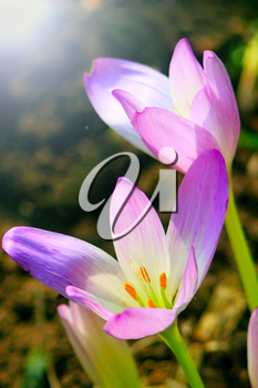 flowers of Colchicum autumnale blossoming in the Autumn in the sunny rays. September flowers with tender sun beams