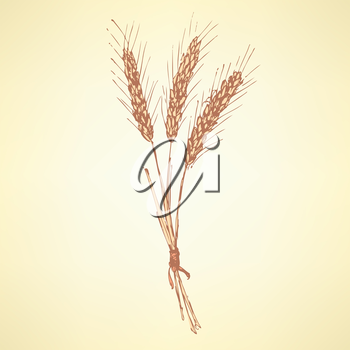 Sketch wheat bran in vintage style, vector