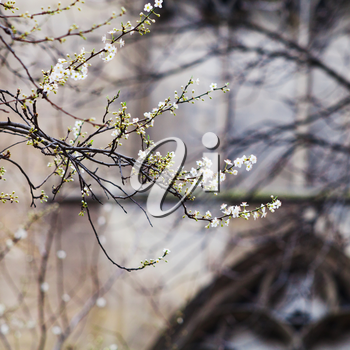 spring blossom and medieval wall of Cluny mansion, Paris