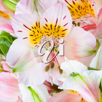 pink flower head of fresh alstroemeria close up