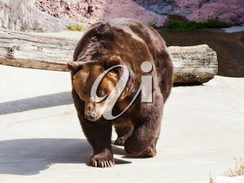 walking Brown bear outdoors in summer day