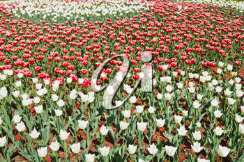 field of red and white decorative tulip flowers