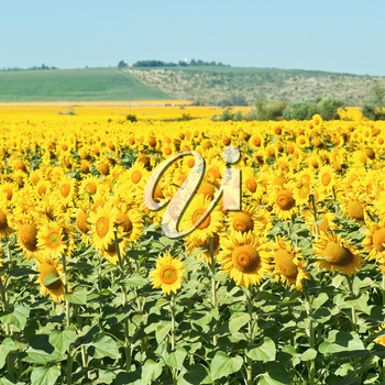sunflower plantation in hills of the Caucasus in summer