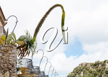 decorative agave flowers and Opuntia cactus in flower pots in Savoca village, Sicily in spring