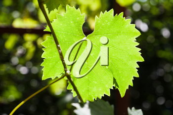 green leaf of grape illuminated by sun in green vineyard in sunny day