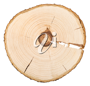annual growth rings in cross section of bird-cherry tree trunk isolated on white background