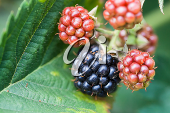 blackberries on leaf close up in garden in summer season in Krasnodar region of Russia