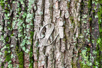 natural texture - mossy and cracked bark on old trunk of maple tree (acer platanoides) close up