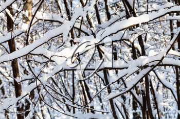 snow-covered intertwined branches of trees in forest of Timiryazevskiy park of Moscow city in sunny winter day